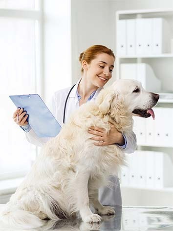 Vet with big yellow dog