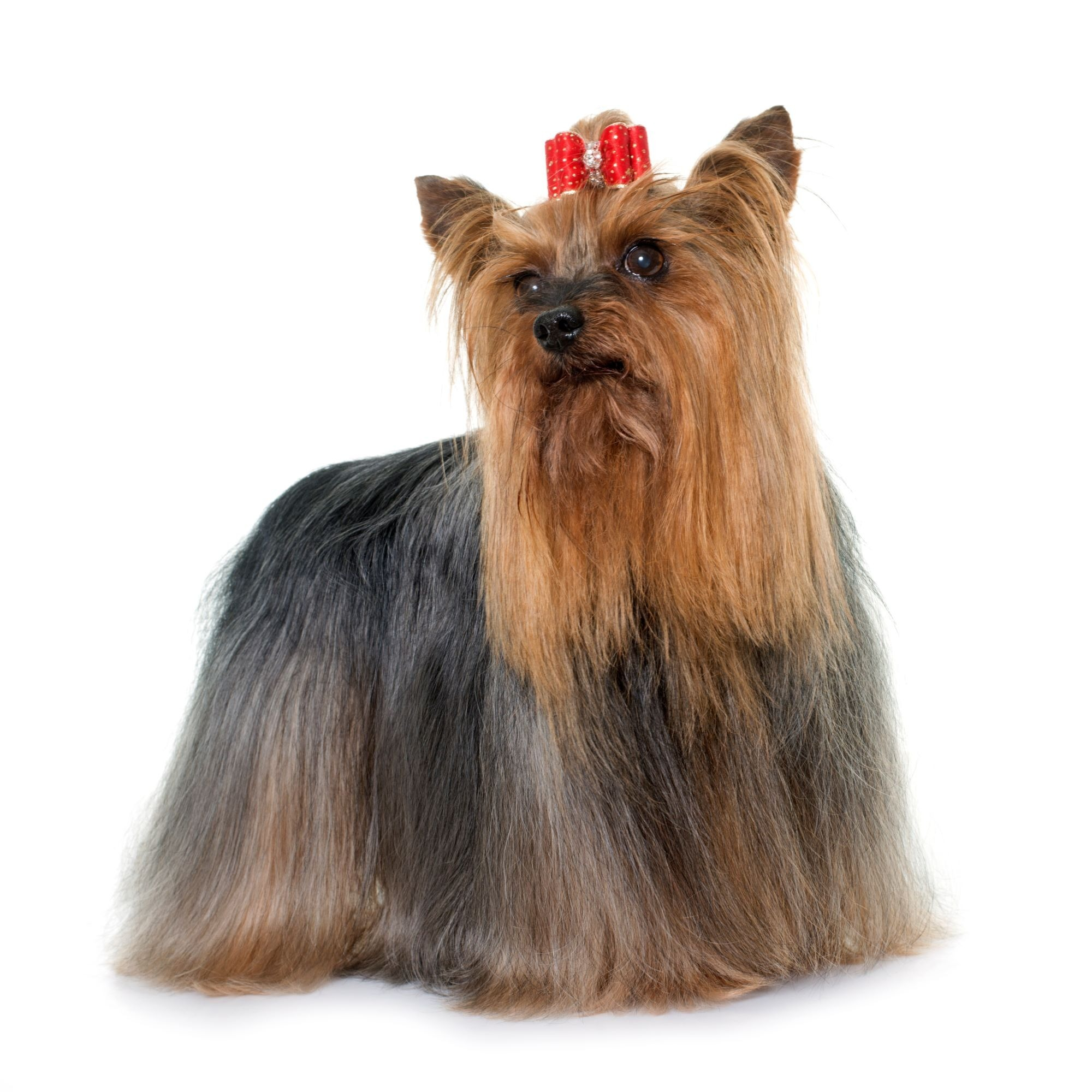 Adult Yorkshire Terrier