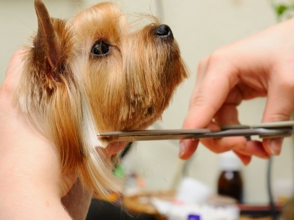 Pet Grooming hair cut